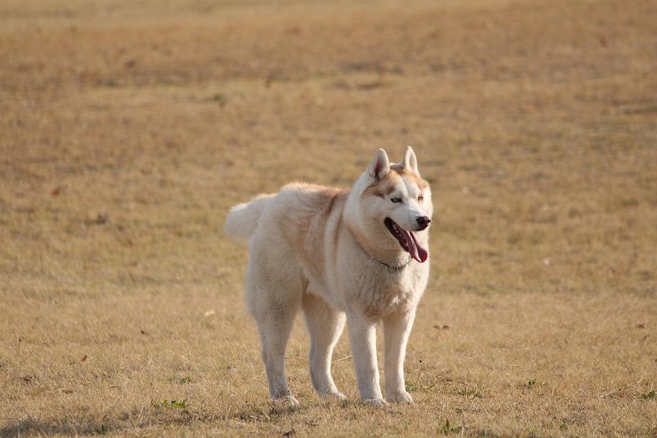 Dog, Husky Light Tan, Medium Size