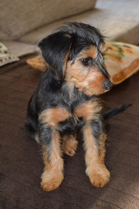 Dog, Hybrid, Dachshund, Yorkshire, Terrier, Pet, Male