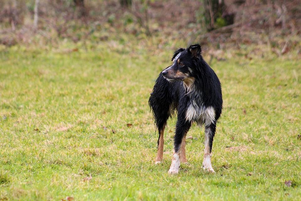 Wet Dog, Dog In Field, Black Dog, Tan Dog, Collie
