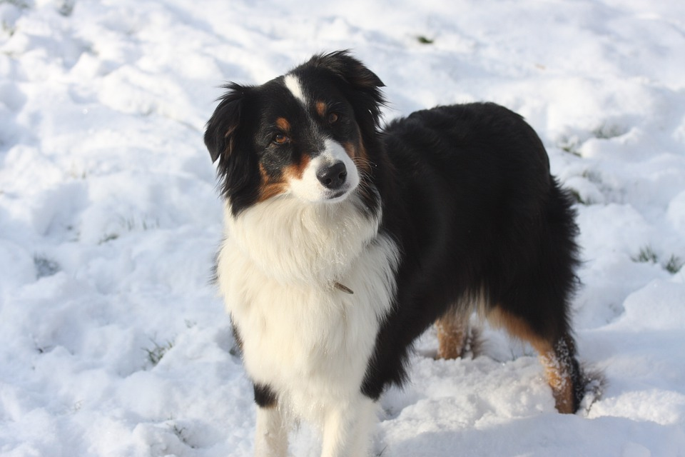 Dog In The Snow, Australian Shepherd, Herding Dog