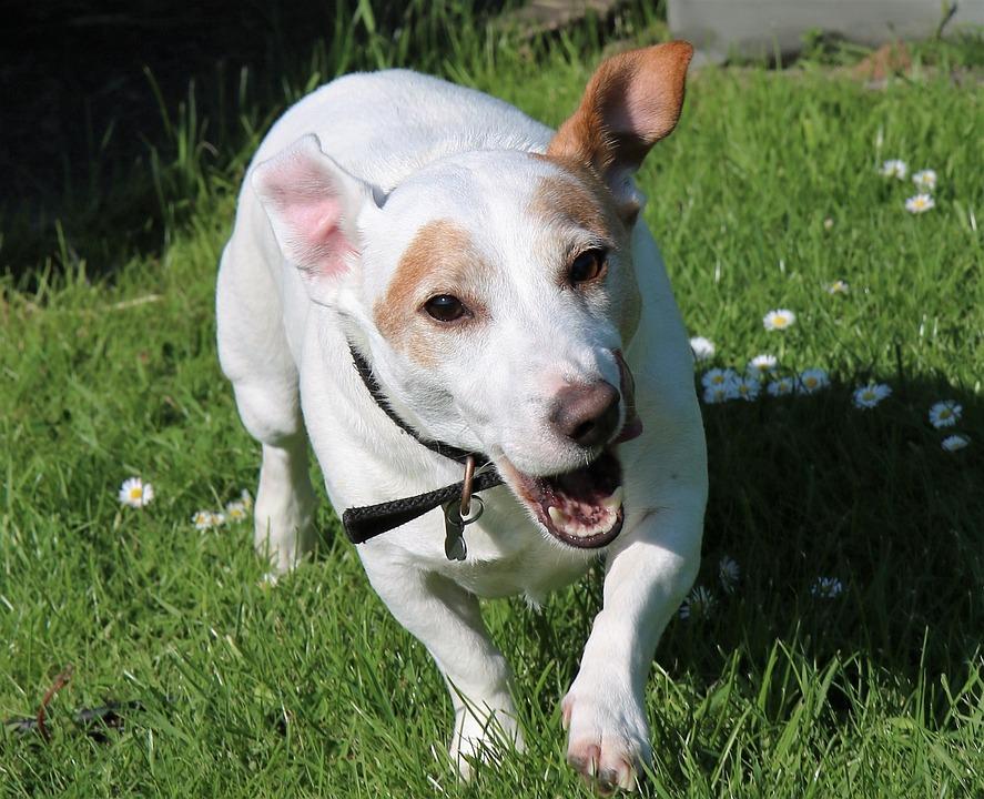 Jack Russel, Terrier, Dog, Jack, Animal, Pet, Russell
