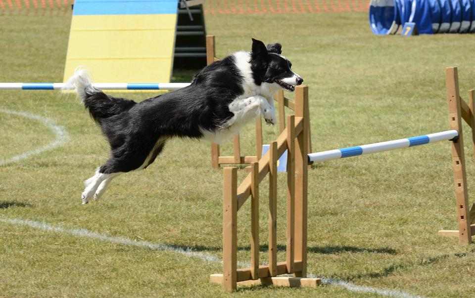 Dog, Agility, Fitness, Jump, Summer, Fun, Training