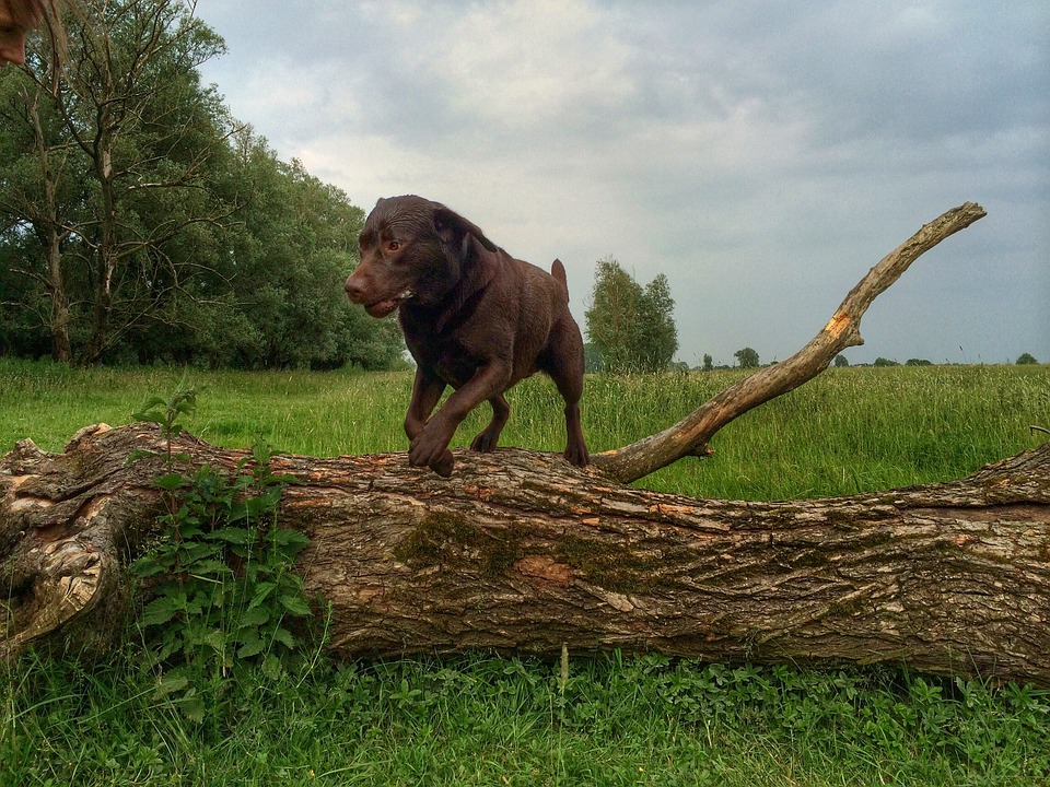 Dog, Labrador, Nature, Jump, Tree