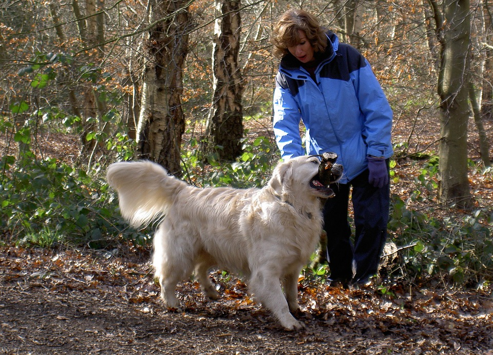 Retriever, Labrador, Dog, Purebred, Pedigree, Fur