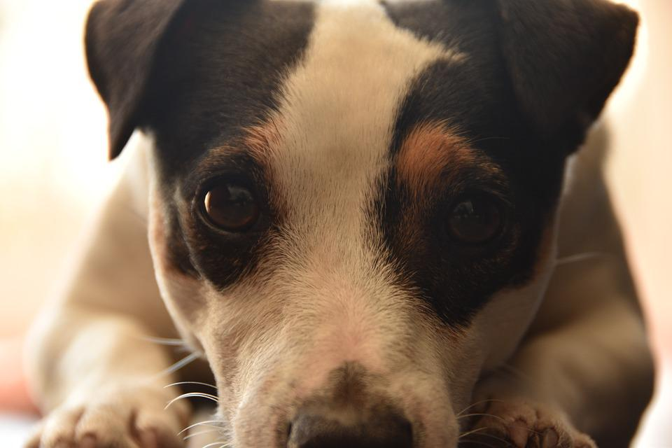 Jack Russel, Look, Dog, Cute, Terrier, Animal, Faithful