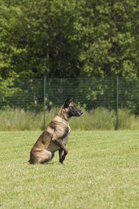 Belgian Shepherd, Malinois, Dog, Sitting