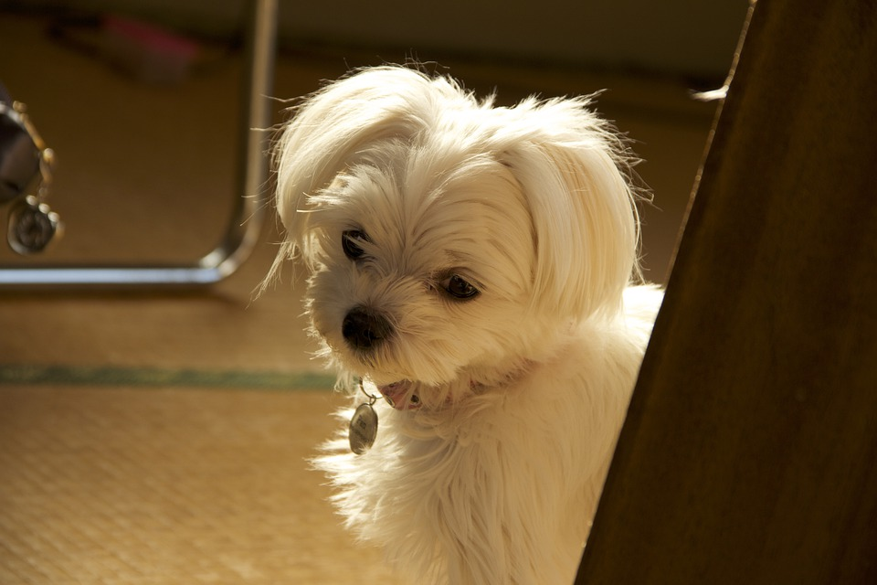 Malties, Dog, Pet, Cute, Picture, White
