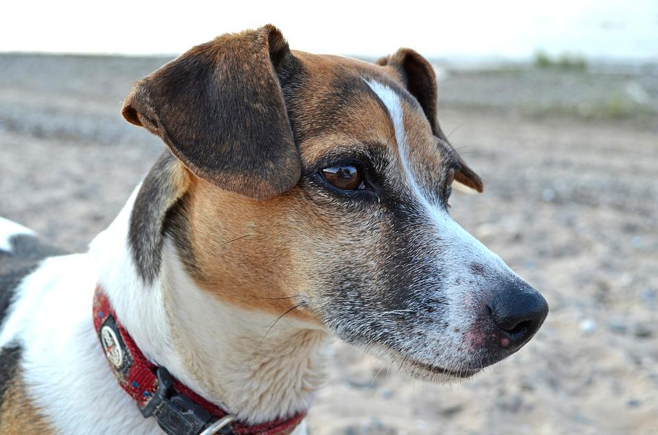 Dog, Terrier, Beach, Pet, Greyhound, Mammal, Animal