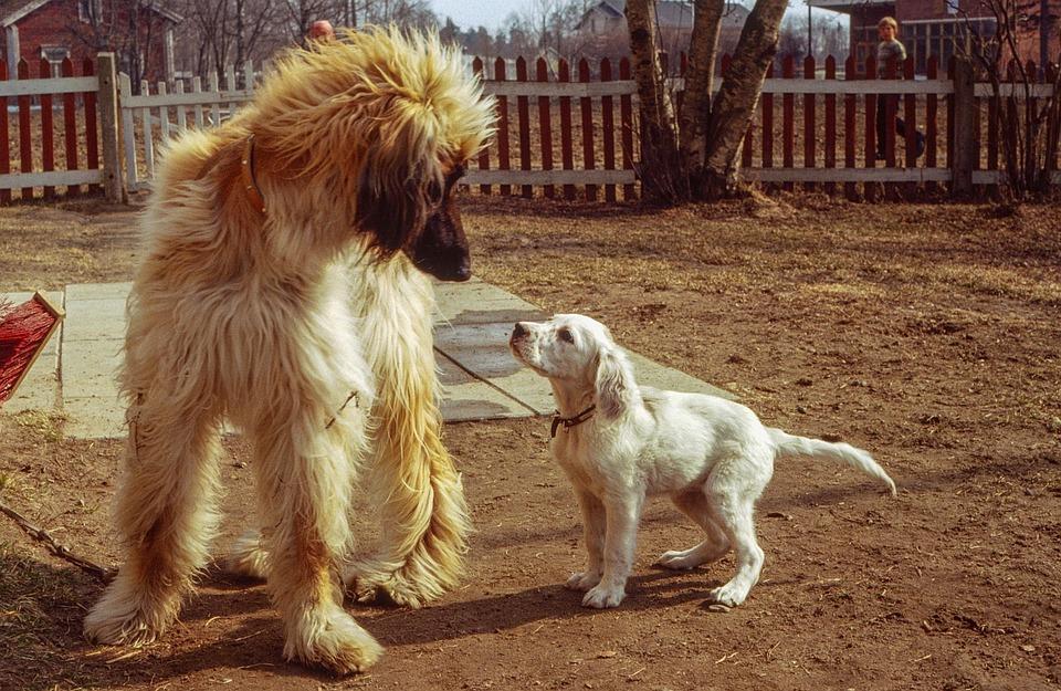 Dog, Mammals, Pet, Cute, English Setter
