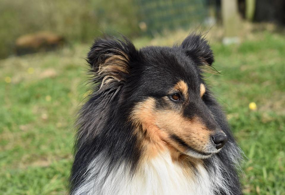 Dog, Shetland Sheepdog, Color Tri-color, Dog Me Love