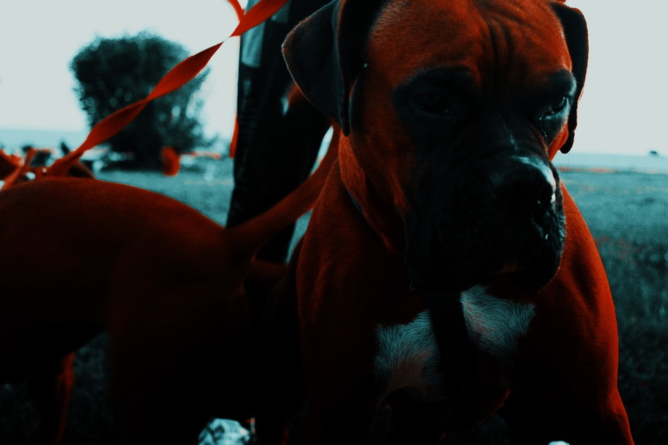 Dog, Boxer, Animal, Cute, Nature, Face, Funny, Little