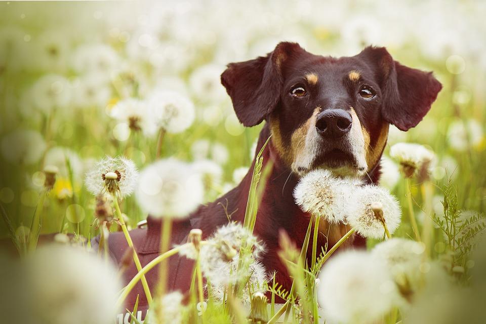 Dog In Dandelions, Dog, Nature, Animal, Pet, Cute