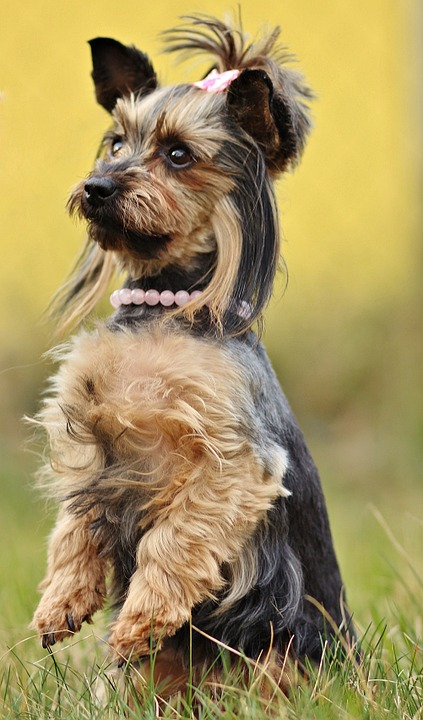 Yorkshire Terrier, Dog, Yorkie, Nature