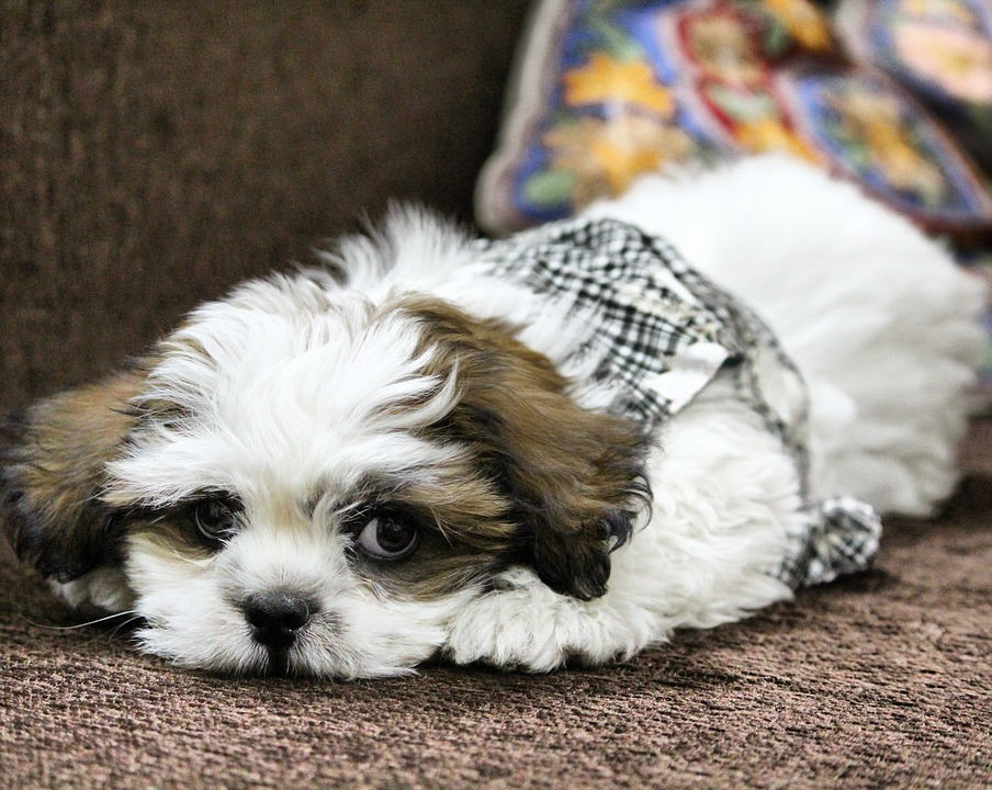 Dog, Noddy, Lhasa Apso, Pet, Puppy, Cute, Adorable