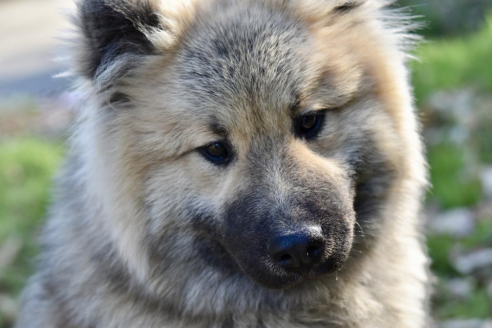 Dog, Portrait Dog Eurasier, Eurasier, Dog Olaf Blue