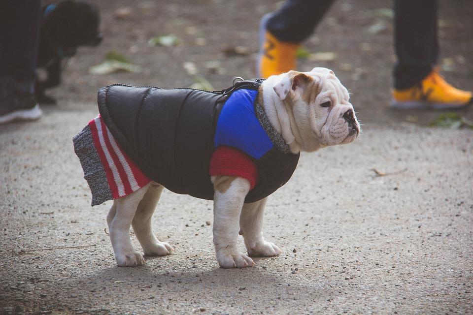 English Bulldog, Puppy, Sweater, Dog Park