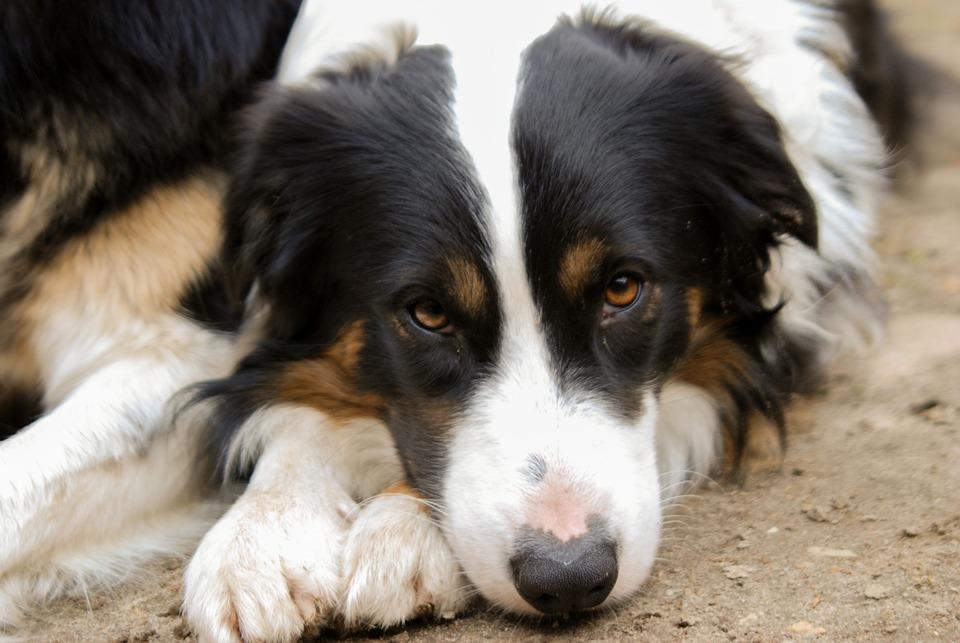Dog, Animal, Pet, Mammal, Cute, Collie, Thoroughbred