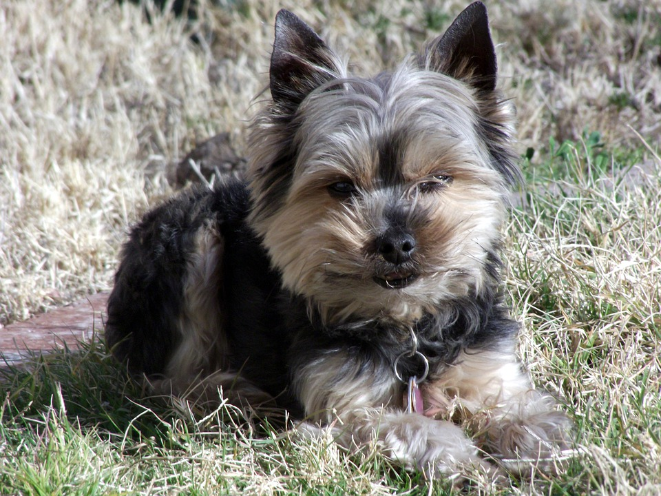 Yorkie, Terrier, Dog, Pet, Canine, Portrait, Ears