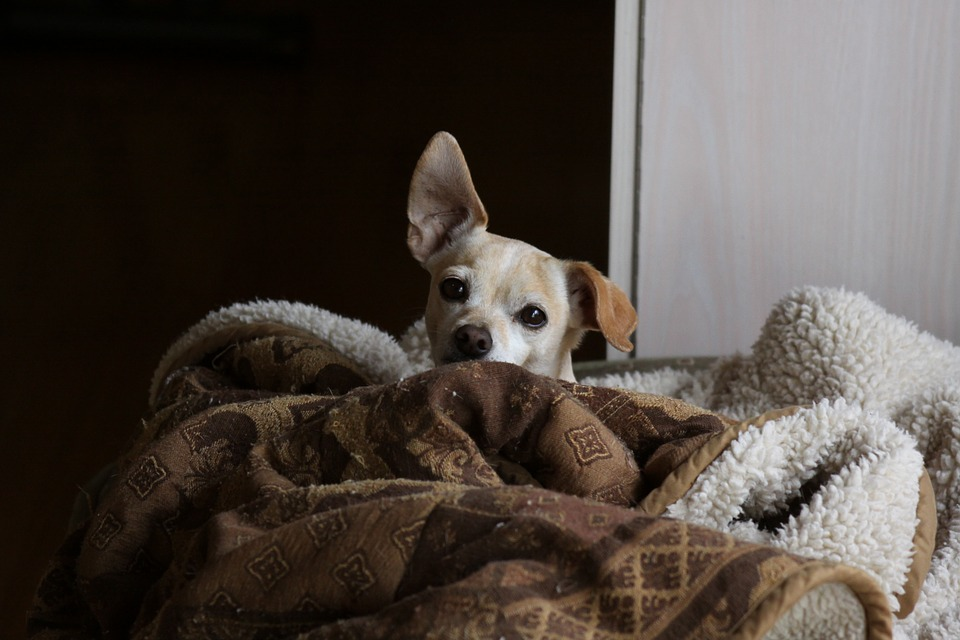 Dog, Chihuahua, Doggy, Pet, Small, Happy, Companion