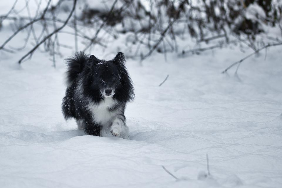 Dog, Snow, Winter, Pet, Cold, White, Furry, Run, Black