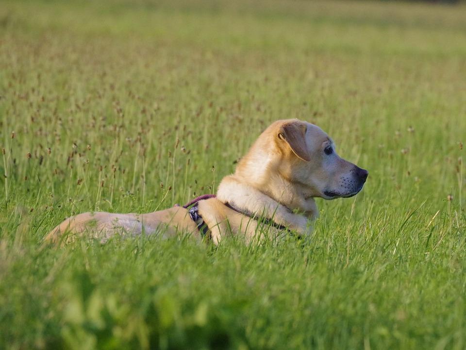 Dog, Labrador, Pet, Yellow