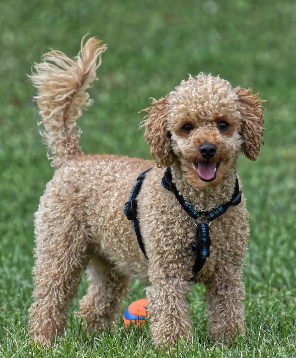 Poodle, Animal Photography, Playful, Dog, Pet, Cute