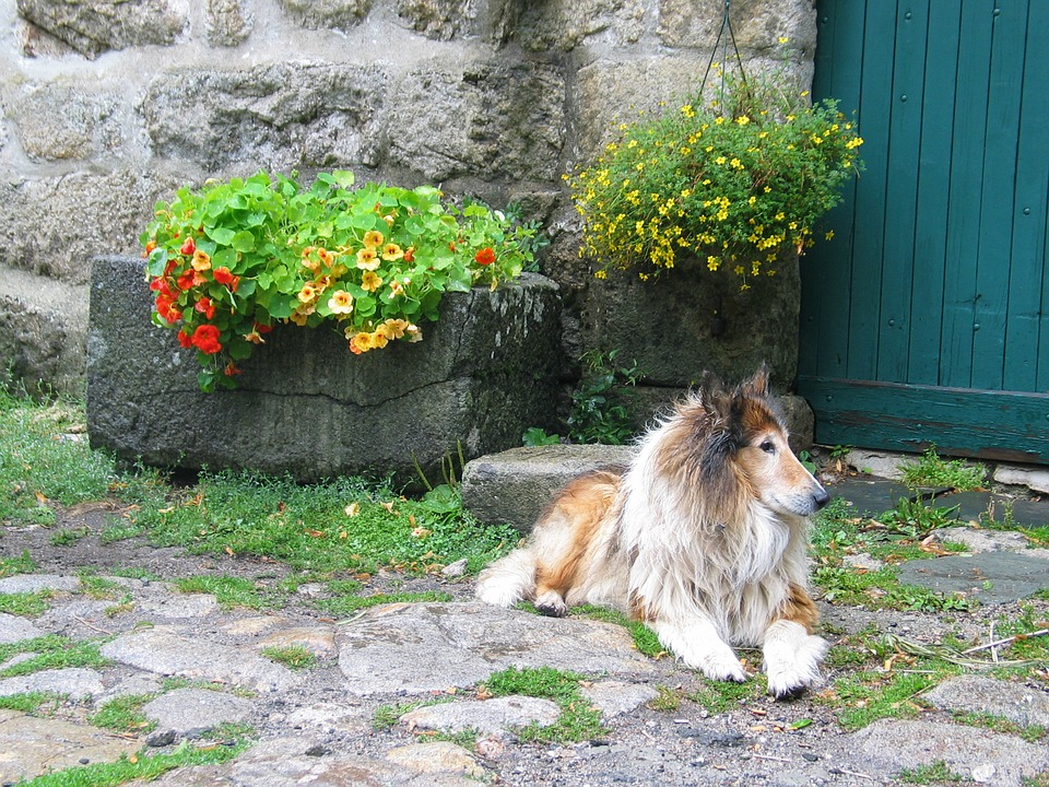 Dog, Collie, Pet, Mammal, Are, Rest, Street, Flower