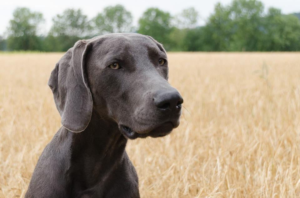 Dog, Weimaraner, Head, Animal, Snout, Pet
