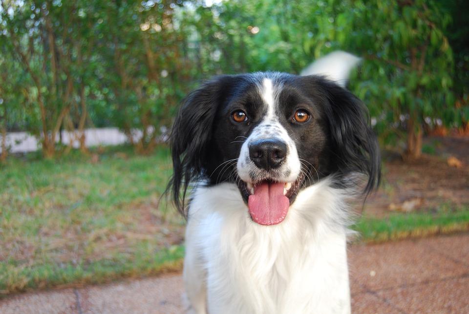 Dog, Pet, White, Nero