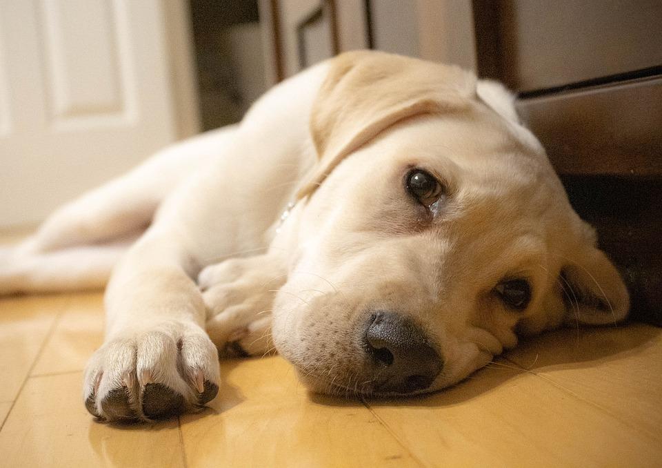 Yellow Labrador Retriever, Dog, Labrador, Pet