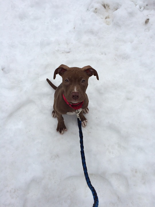 Puppy, Dog, Pit Bull, Adorable, Winter, Snow, Leash