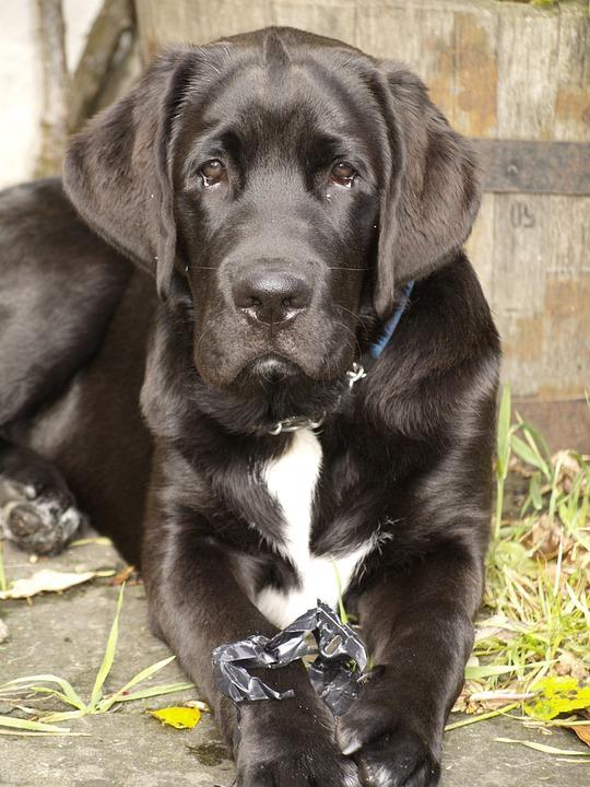 Dog, Pet, Portrait, Animal, Black, Attention