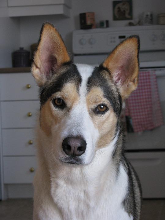 Dog, Husky, Portrait