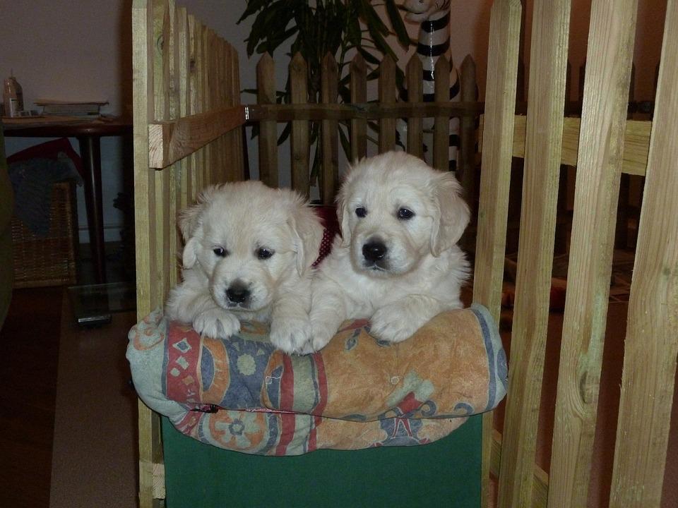 Golden Retriever, Puppy, Dog, Adorable