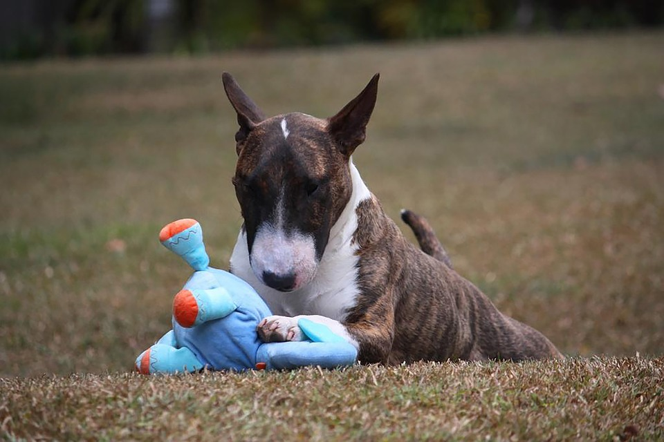 Dog, Bull Terrier, Miniature, Canine, Puppy, Brown