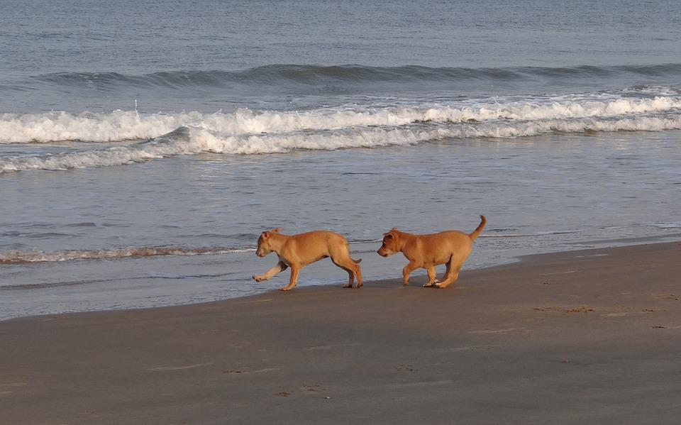 Puppy, Beach, Sand, Playing, Pet, Dog, Animal, Canine