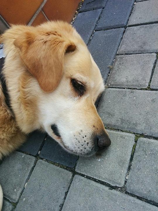 Dog, Animal, Pet, Puppy, Cute, Adorable, Happy