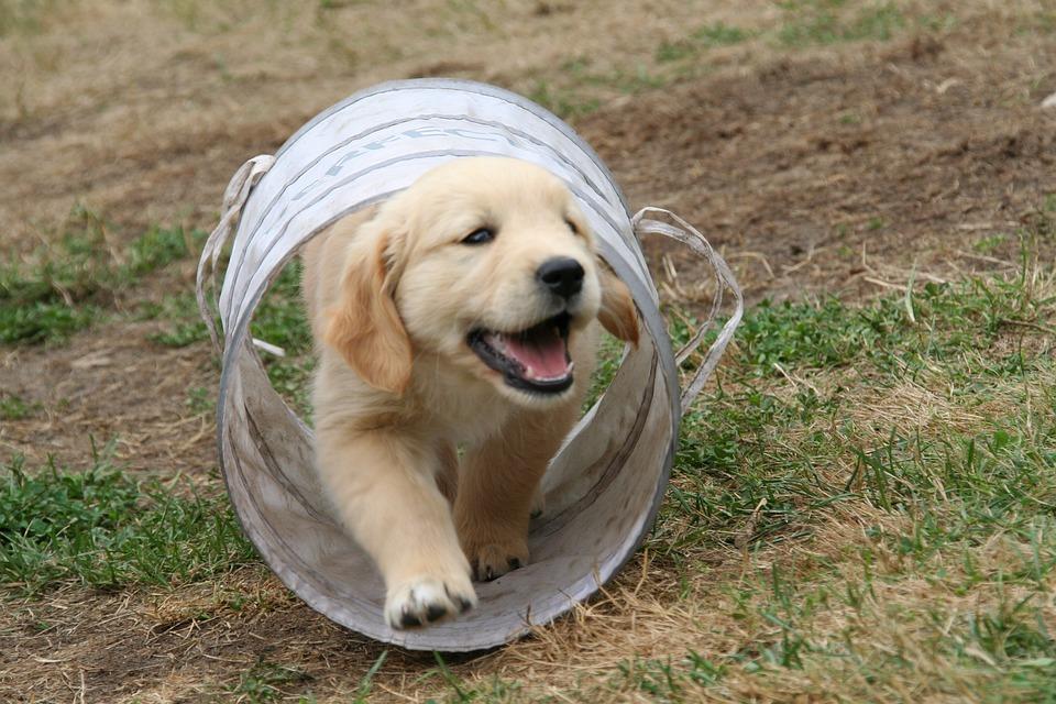 Golden Retriever Puppy, Dog Puppy, Cute Puppy
