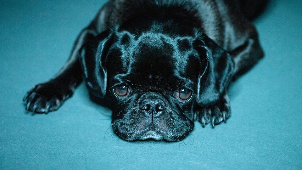 Pug, Black Pug, Puppy Dog, Dog, Pet, Animal, Cute