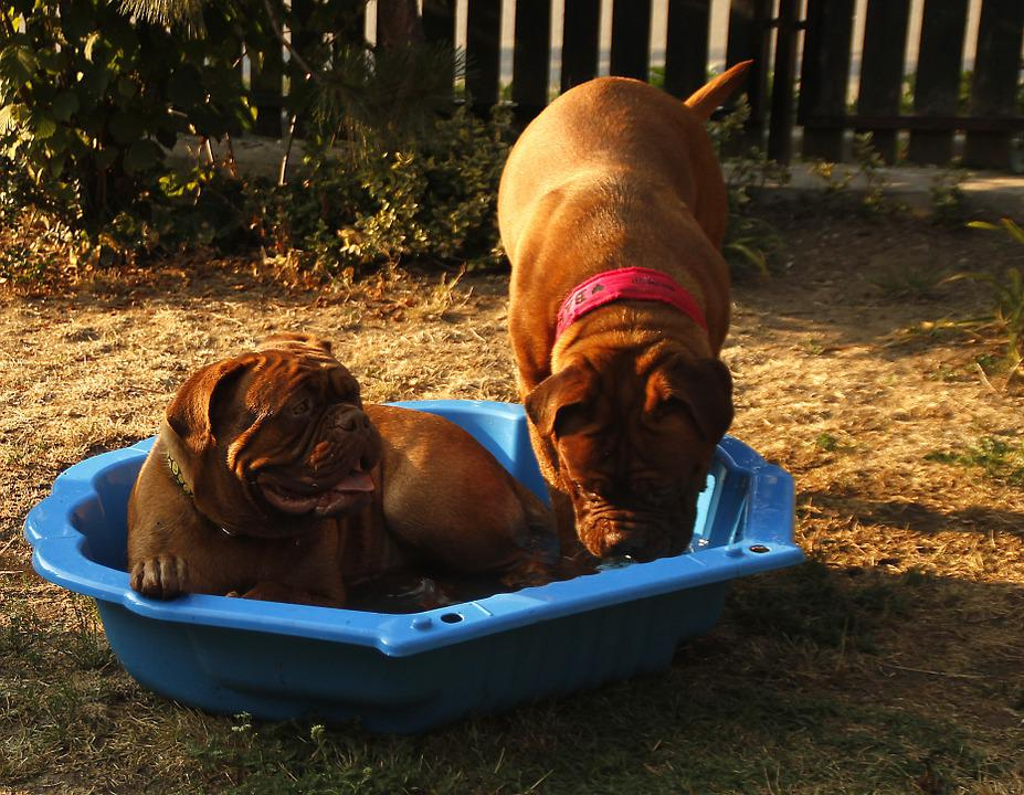 Dog, Big Dog, Puppy, Dogue De Bordeaux, Dog De Bordeaux