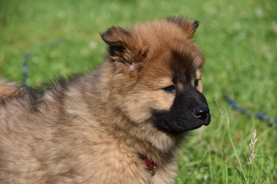 Puppy, Dog, Pup, Eurasier Puppy, Bitch Popcorn
