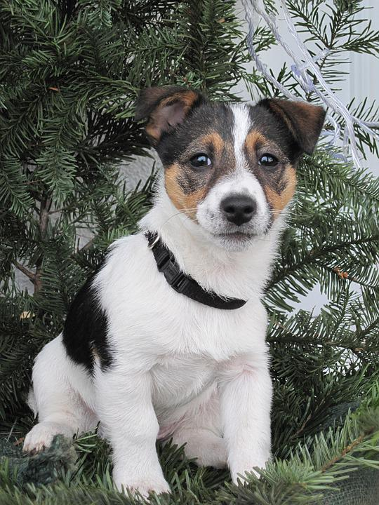 Dog, Jack Russel, Young, Cute, Puppy, Terrier, Charming
