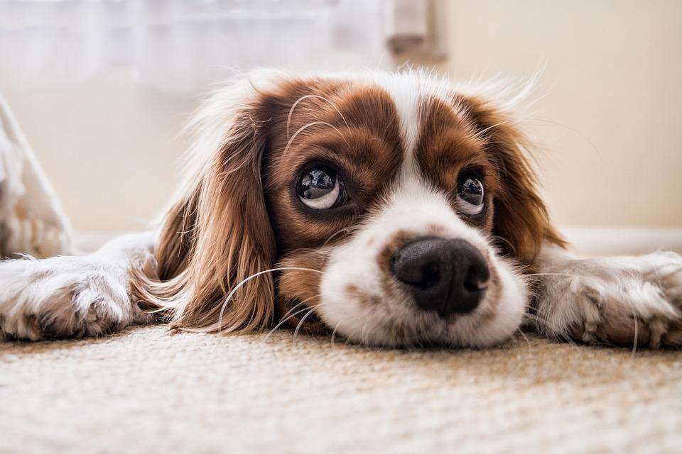 Cocker Spaniel, Puppy, Pet, Canine, Dog, Animal, Lying