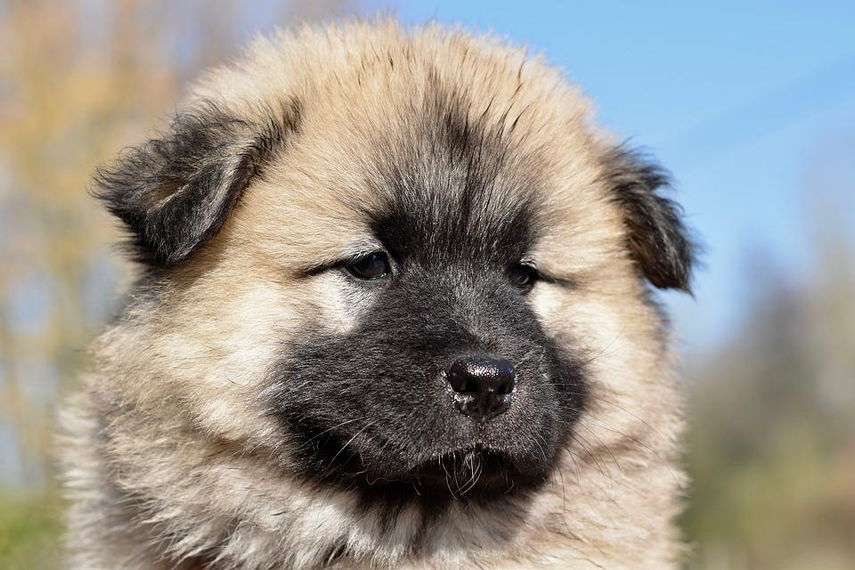 Dog, Dog Eurasier Pongo, Eurasier Male, Pup, Puppy