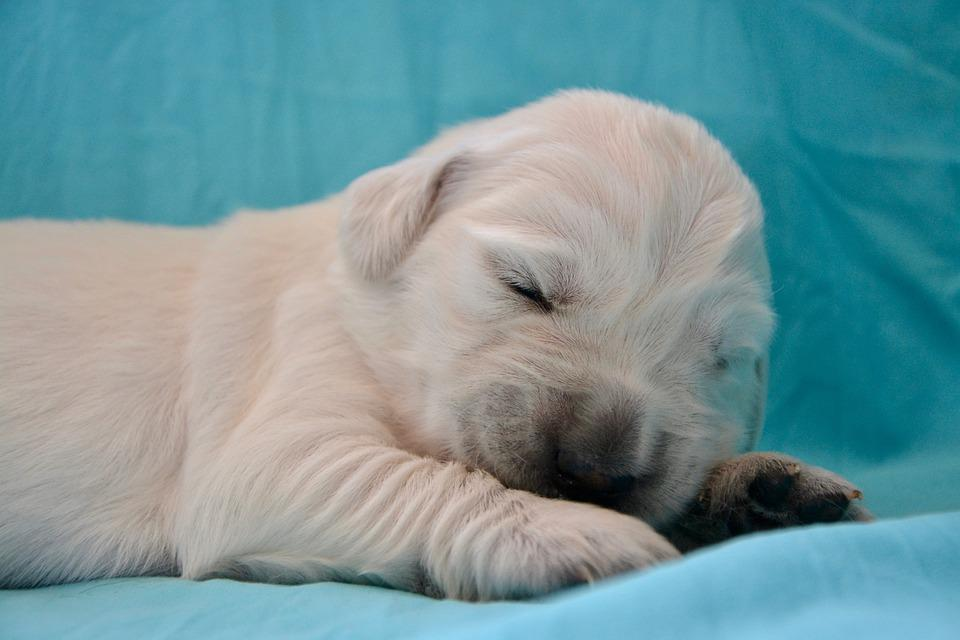Dog, Golden Retriever Puppy, Pup, Puppy Sleeping