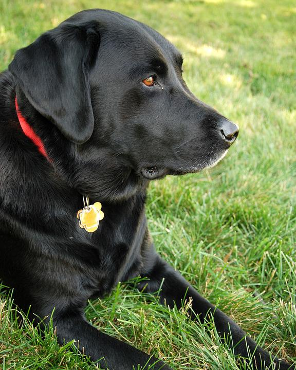 Dog, Labrador Retriever, Black Lab, Labrador, Retriever