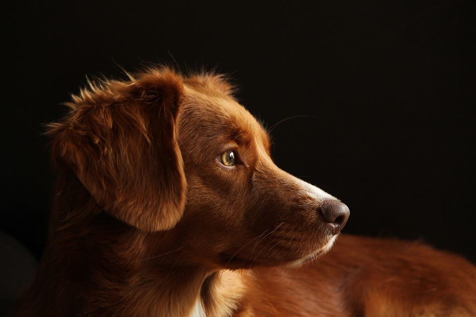 Dog, Pet, Retriever, Purebred, Red-white