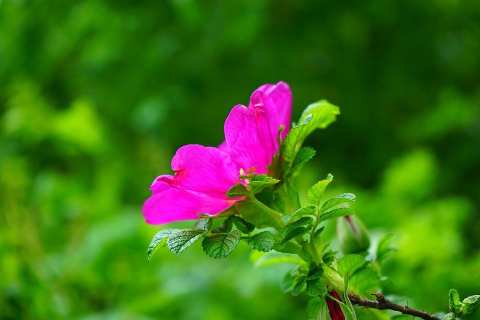 Dog Rose, Rose Bloom, Blossom, Bloom, Rose, Pink