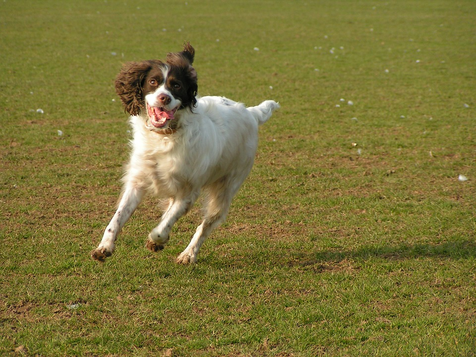 Dog, Running, Dog Running, Grass, Happy, Active