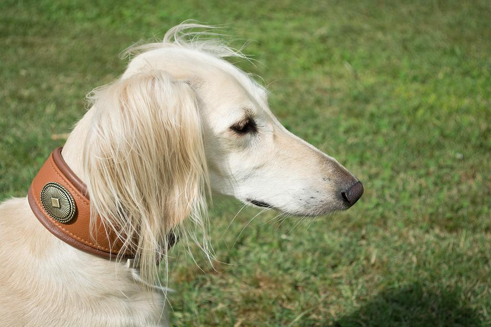 Free photo Dog Saluki Pet Persian Greyhound Portrait - Max Pixel